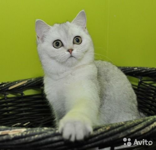 Очень красивая шотландская плюшевая кошка редкого и эффектного серебристого окраса - в добрые руки за символическую плату. Возраст 1,5 года Кошечка здоровая, ласковая, безупречно приучена к лотку, хорошо кушает корма премиум класса.Отдам только ответств...
