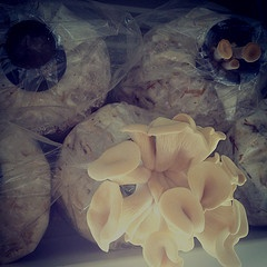 Growing Pearl Oyster Mushrooms in bags « Milkwood: permaculture farming and living