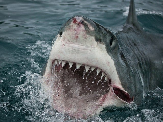 If you want to lower your chances of being attacked by a great white shark, do not swim alone. Why Do Great White Sharks Attack Humans? - Facts You Need to Know!