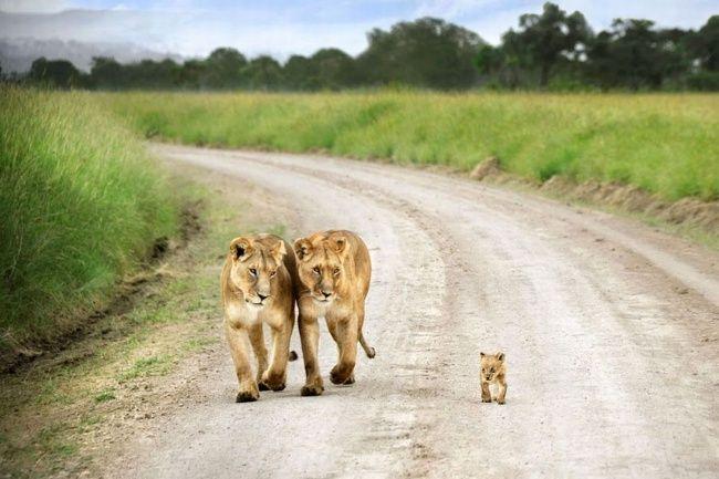 Этот львенок был гораздо меньше своих братьев исестер, которые убежали вгущу леса, ивсегда держался рядом сльвицами. Масаи Мара, Кения. ...