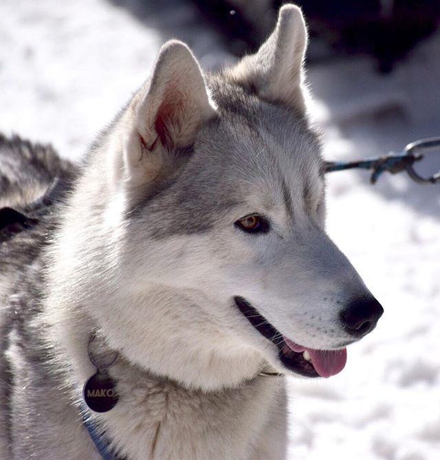 Des Chiens De Traineau Au Pied Des Pistes Chien Dog Husky Ski Traineau Sancy Besse Superbesse Soleil Hiver Neige Snow Winter Dogs Husky Animals