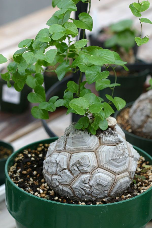 Dioscorea elephantipes. I'm growing this from seed and it just sprouted. Can't wait until it gets this big!
