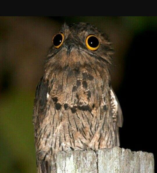 Urutaú, un pajarito al que adoro. Habita en las noches del Noreste de Argentina, Paraguay y sur de Brasil. Su bello canto es triste y asemeja un llanto. Se encuentra en peligro de extinción.