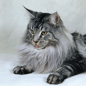 """Maine Coons are known for their large size, with females averaging up to 16 pounds and males up to 18, with some tipping the scales at 20-plus pounds. With a long, shaggy coat that lays close to the body, a bushy long tail, tufted paw pads and large ears adorned with furry tufts and """"lynx tips"""" on top, their build reflects the Maine Coon's origins in the cold Northeast."""