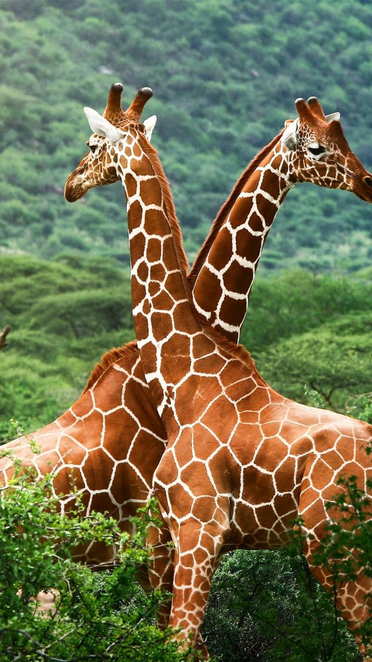 giraffes, trees, couple, spotted