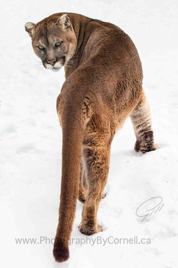 Nervous Cougar Looking Back While Doing Some Hunting in the Snow; Beautiful Big Cat.
