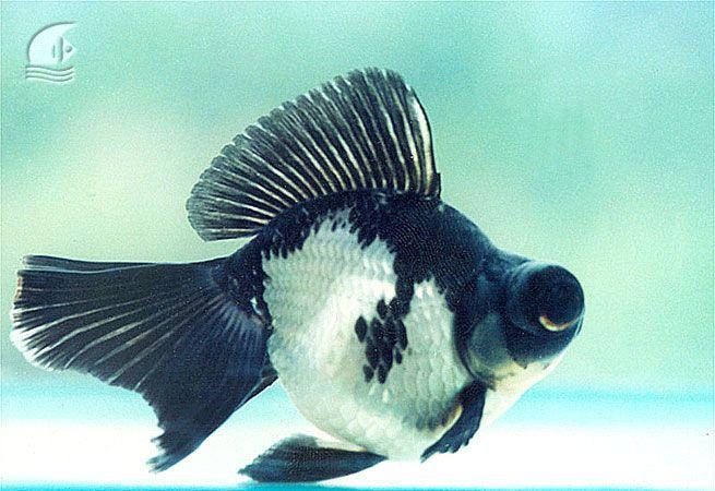 Black Goldfish Panda Moor Panda Moor Goldfish Черен телескоп Black Moor Goldfish