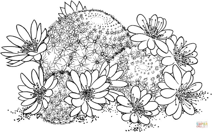 Rebutia Deminuta ou cacto coroa | Super Coloring