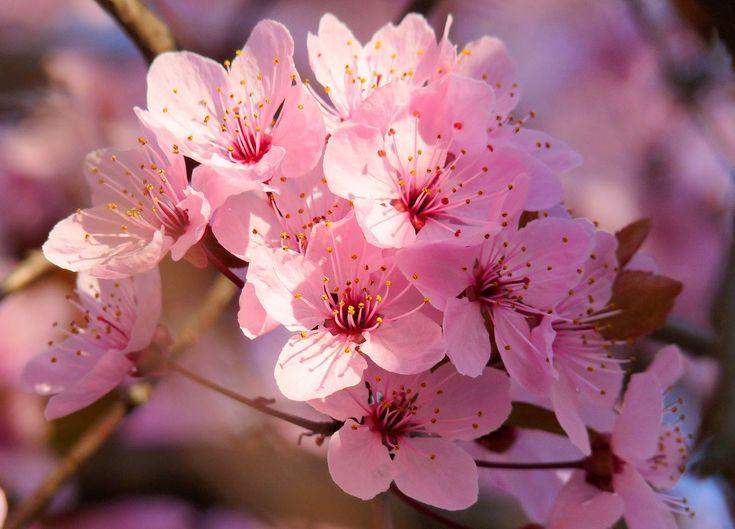 Significado del arbol de cerezo buscar con google flor - Arbol de rosas ...
