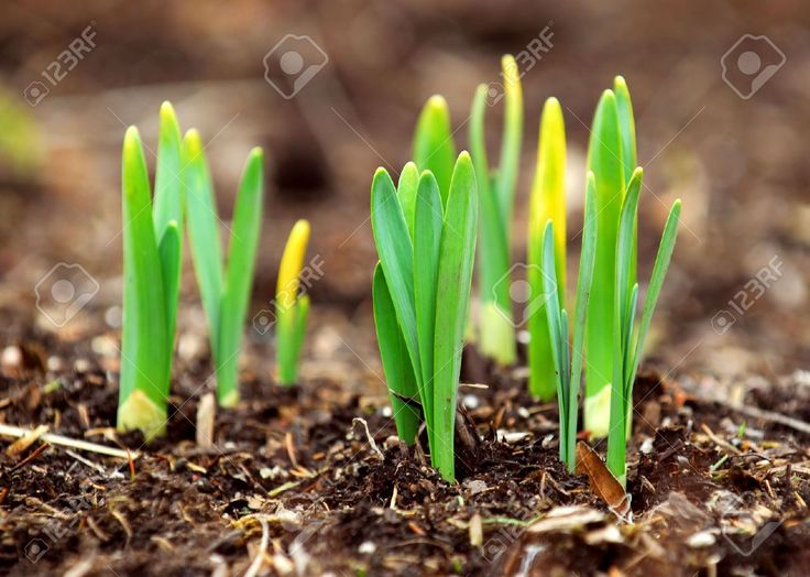 Daffodil Images, Stock Pictures, Royalty Free Daffodil Photos And ...