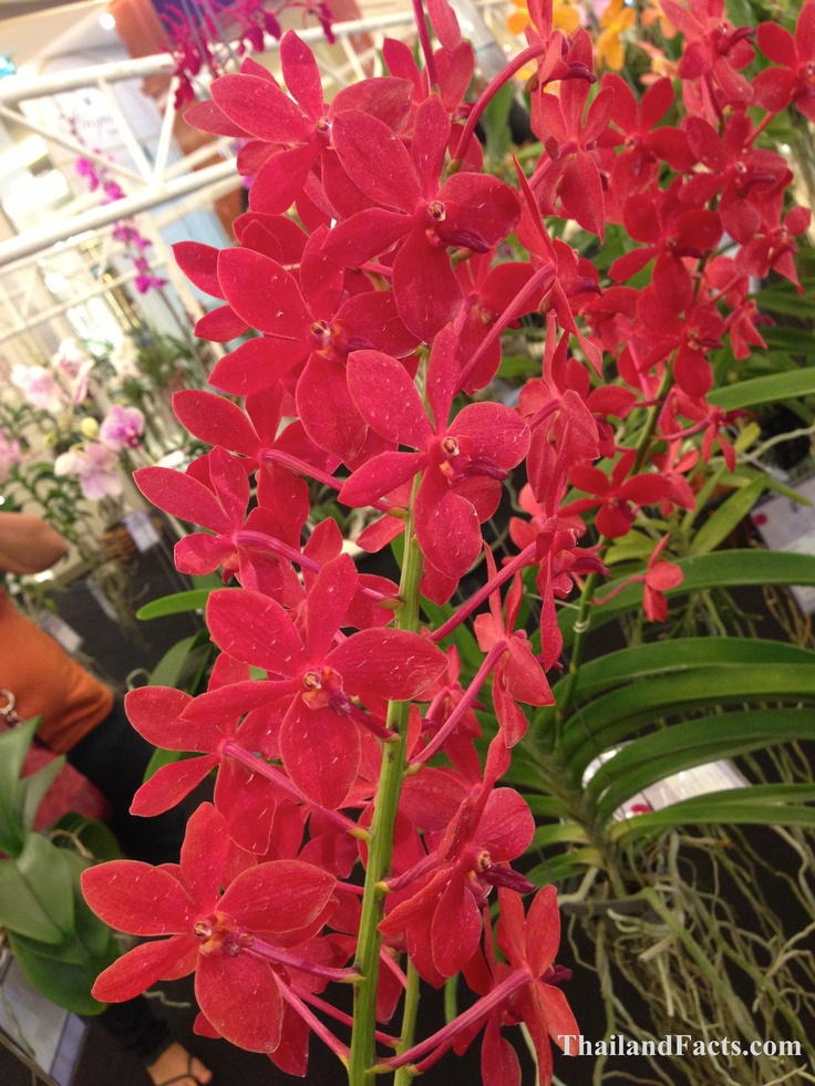 ThailandFacts.com  red orchid