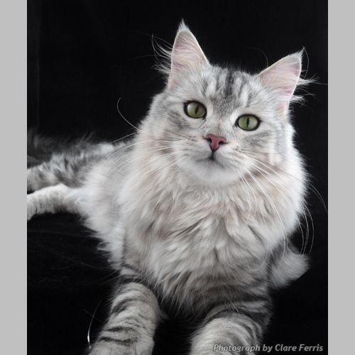 Black Silver Tabby Siberian FROM RUSSIA WITH LOVE