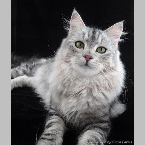 White Grey Siberian Tabby Cat