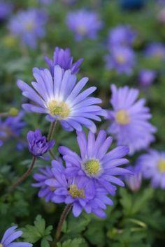 Für den Schattengarten: Strahlen-Anemone (blau) - Anemone blanda ist ein hübscher Frühjahrsblüher. Im Garten fallen sie zu dieser blüharmen Zeit besonders auf. Anemone blanda Ranunculaceae