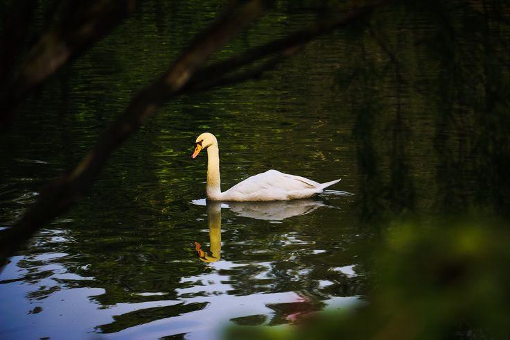 Swan in the Botanical Gardens