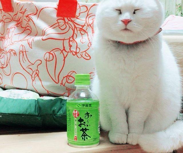 #白猫#猫#猫部#ねこ部#ネコ部#にゃんこ部にゃんこ#愛猫#まっしろねこ#猫好きな人と繋がりたい#ねこすきさんと繋がりたい#ねこすたぐらむ#おばあちゃん猫#きーちゃん#きーちゃんの毎日#でぶねこ#でぶ猫#でぶにゃん
