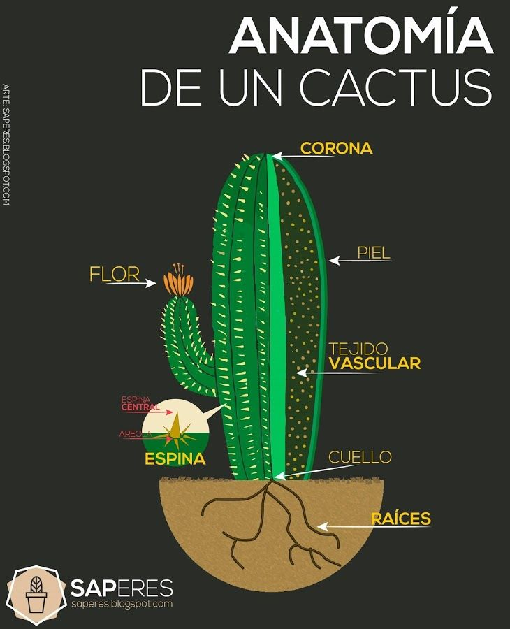 Descubre cómo saber si tu cactus es un cactus y no otra cosa...