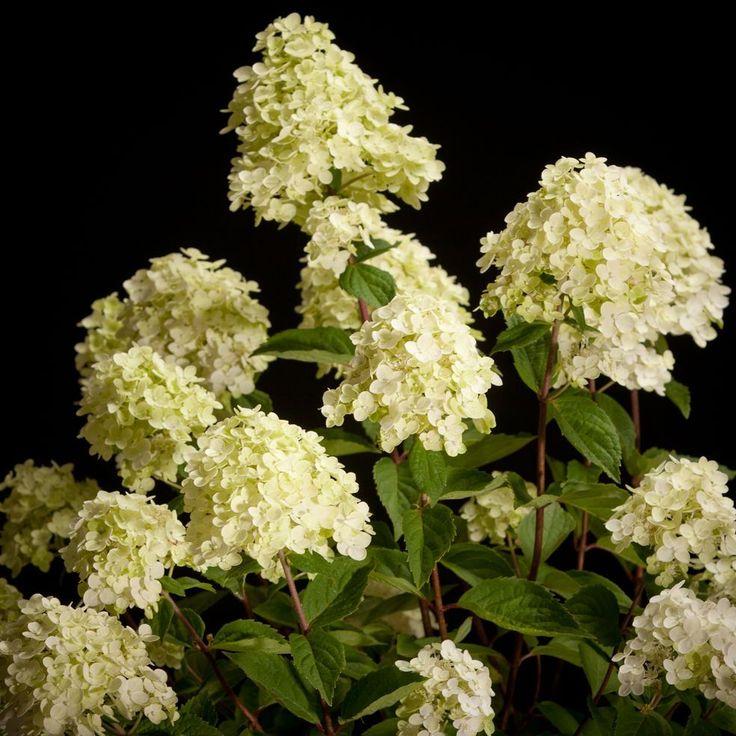 Certi Hydrangea Silver Dollar, witte hortensia, tuin, tuinplanten, Certi #Bloemen, #Planten, #webshop, #online bestellen, #rozen, #kamerplanten, #tuinplanten, #bloeiende planten, #snijbloemen, #boeketten, #verzorgingsproducten, #orchideeën