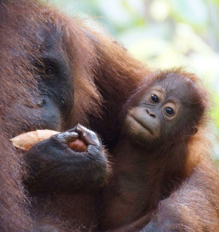 Orang-utan conservation centre.. Sepilok.. Sabah Malaysian Borneo..... One of our destinations for Discover Asia 2015
