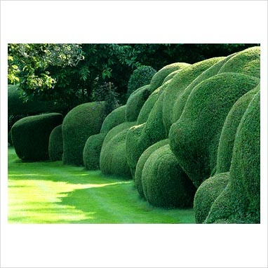 Ancient hedge of Box - Buxus sempervirens at Belmore House, Hampshire