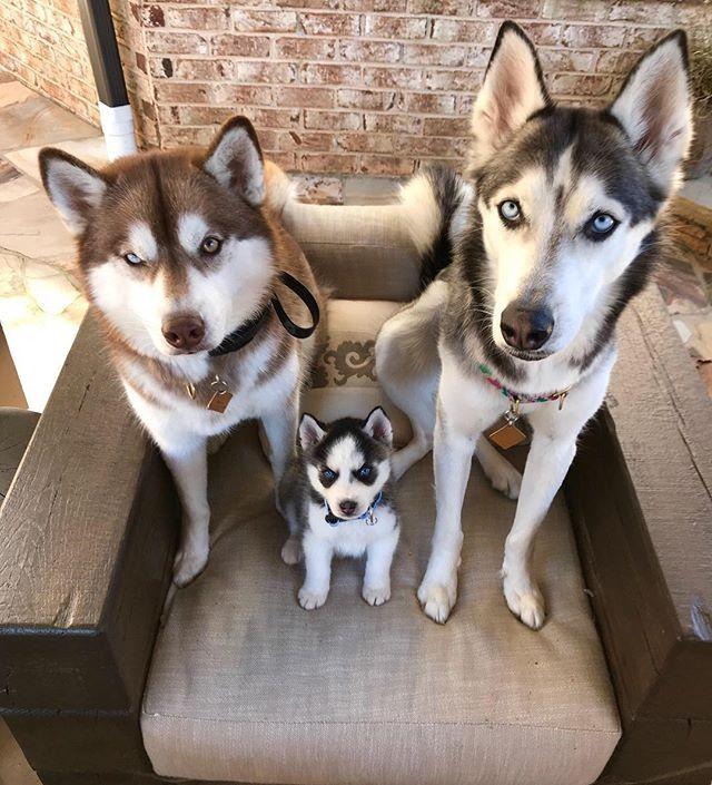 Happy Husky Family Huskypuppy Husky Dogsofinstagram Dogs