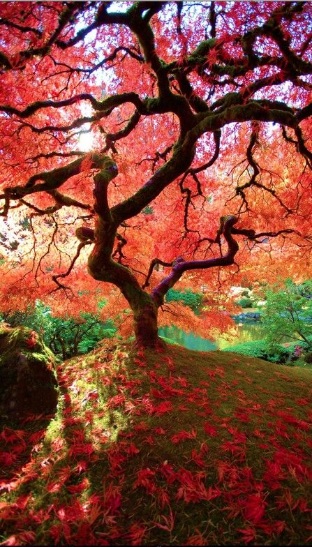 The famous maple at Portland's Japanese Garden in Oregon • photo: Judy & Paul on Flickr