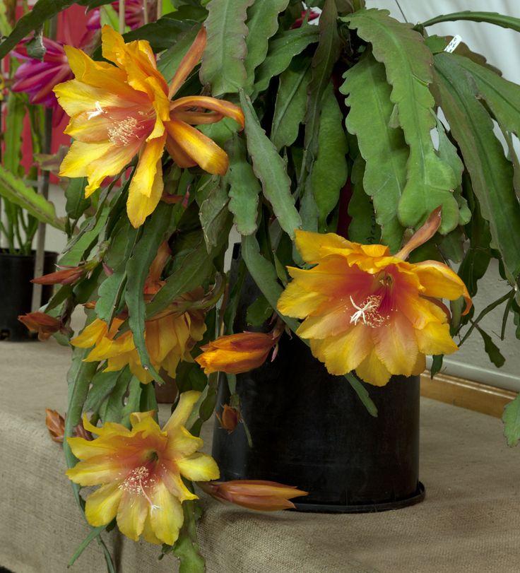 Epiphyllum Acapulco -  By Don Crain