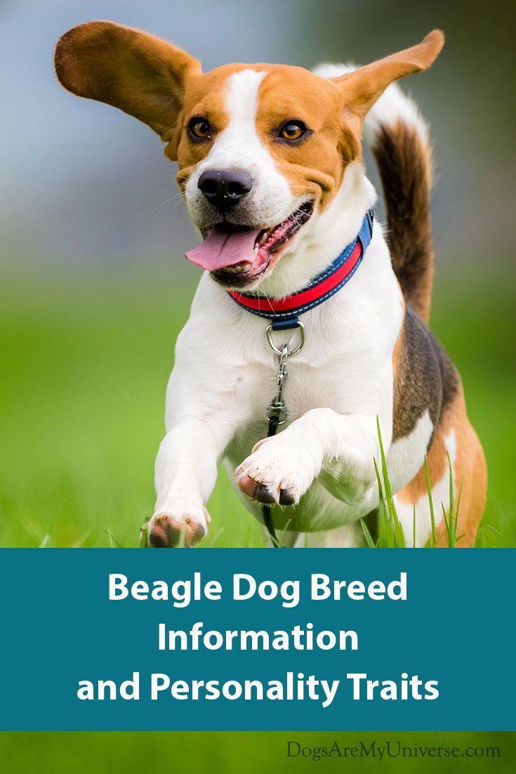 Beagle Dog Breed Information Beagle Dog Breed Dog Breeds