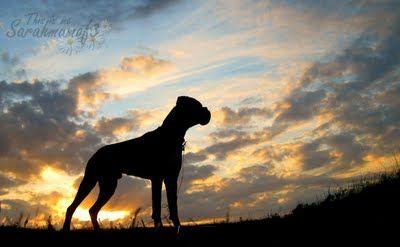 Beautiful Boxerdog Sunset