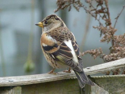 Brambling: in from the cold | Nature Notes from Dorset