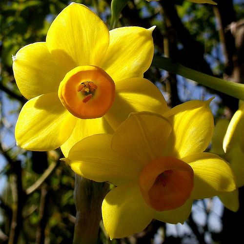 The jonquil flower is thought to be one of the most abundantly grown plants in Texas. Description from flowerinfo.org. I searched for this on bing.com/images