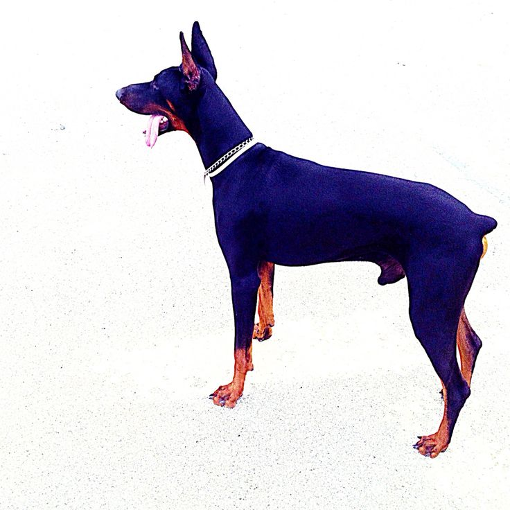 Doberman...amazing dog...❤️