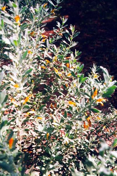 Eremophila glabra 'Kalgoorlie'