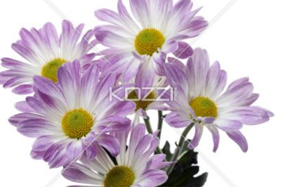 close-up shot of purple flowers. - Detailed shot of purple flowers on white background.