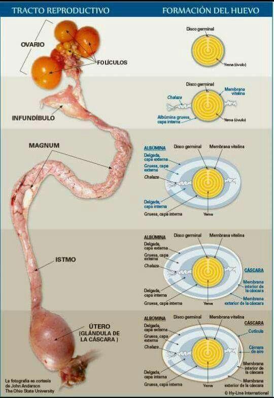 El aparato reproductor de una gallina y las zonas donde se va formando cada estructura del huevo.
