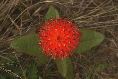 Caliandra do Cerrado: Uma flor do Cerrado: Para-tudo, a flor que nunca murcha