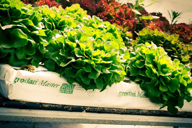 Certification on Integrated Crop Management   MarouliBest© (Hydroponic Lettuce)