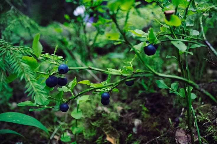 Bilberry seeking