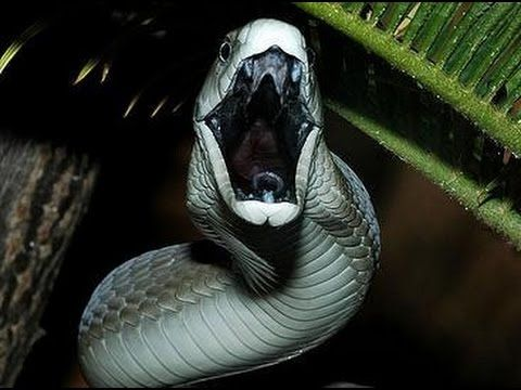 Most Dangerous Snake Black Mamba Amazing Life Documentary HD 2014 [World Of Lifes Documentary]