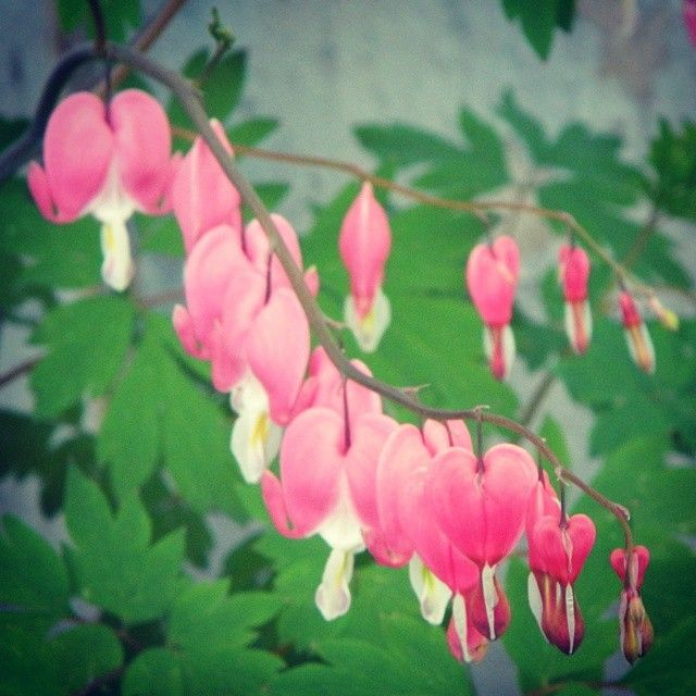 I think these are called dragon heart flowers☺ they are in my front yard☺ aren't they just so cute?!! ❤#flower, #hearts, #pink #pinkflowers #pinkflower #naturelovers #nature #beautiful #organic #life #lifesbeautiful #lifesbeauty #pretty #prettyplants #prettyplant #natural #zoomin #zoom #closeup #closeups #potrait #cuteness #cute #adorable #heartflowers #heartflower #dragonheart