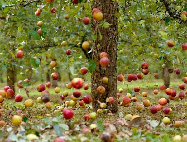 Apple Rain. I like to think they are hanging from invisible thread.