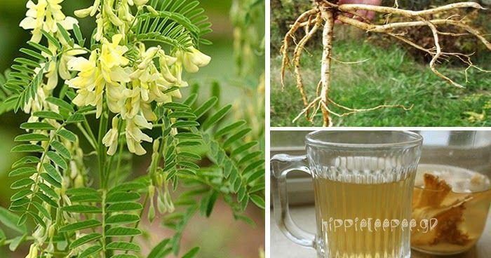 photo: hippieteepee.gr   Από: trophos.org   Το φυτό Astragalus φύεται στην Κορέα, τη Μογγολία, την Ιαπωνία, την Ταϊβάν και το βόρειο τμή...