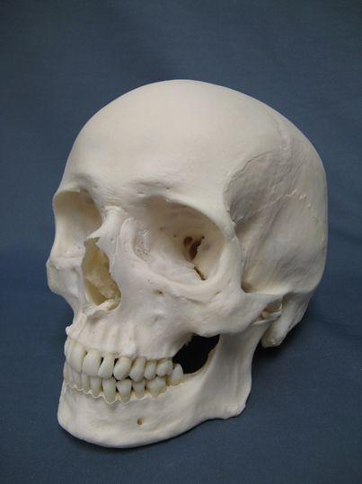 Human Skull Three Quarters View Full Teeth