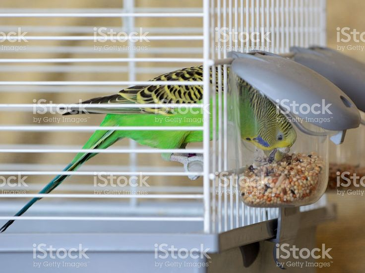 Budgie Bird in Cage Feeding royalty-free stock photo