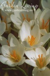 Crocus sieberi 'Bowles White'