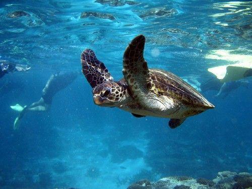 Swim With A Turtle On The Ningaloo Reef, Western Australia