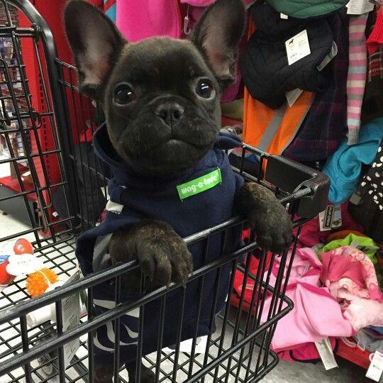 """Mom took me shopping!"", Rallo, the French Bulldog Puppy,  @i.am.rallo"