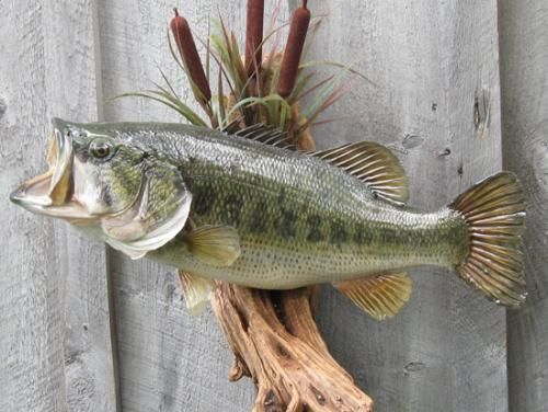 JUST FISH Taxidermy Photo Gallery