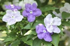 Brunsfelsia Propagation: Learn How To Propagate Yesterday Today and Tomorrow - Brunfelsia propagation can be done through tip cuttings taken from the current season's growth or from seeds. For information how to propagate yesterday, today and tomorrow plants, click this article.