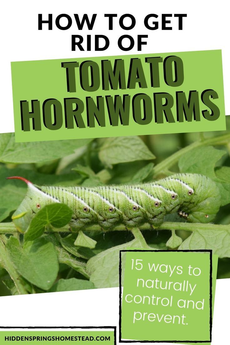 how to get rid of caterpillars on tomato plants